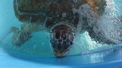 """Rettung für Meeresschildkröten: Das Turtle Hospital in Marathon ist eine von vielen Stationen auf den Florida Keys, für die """"Connect & Protect"""" wirbt."""