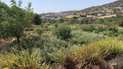 Auf der Farm Karamantho auf Paros werden Gemüse, Obst und Kräuter organisch angebaut.